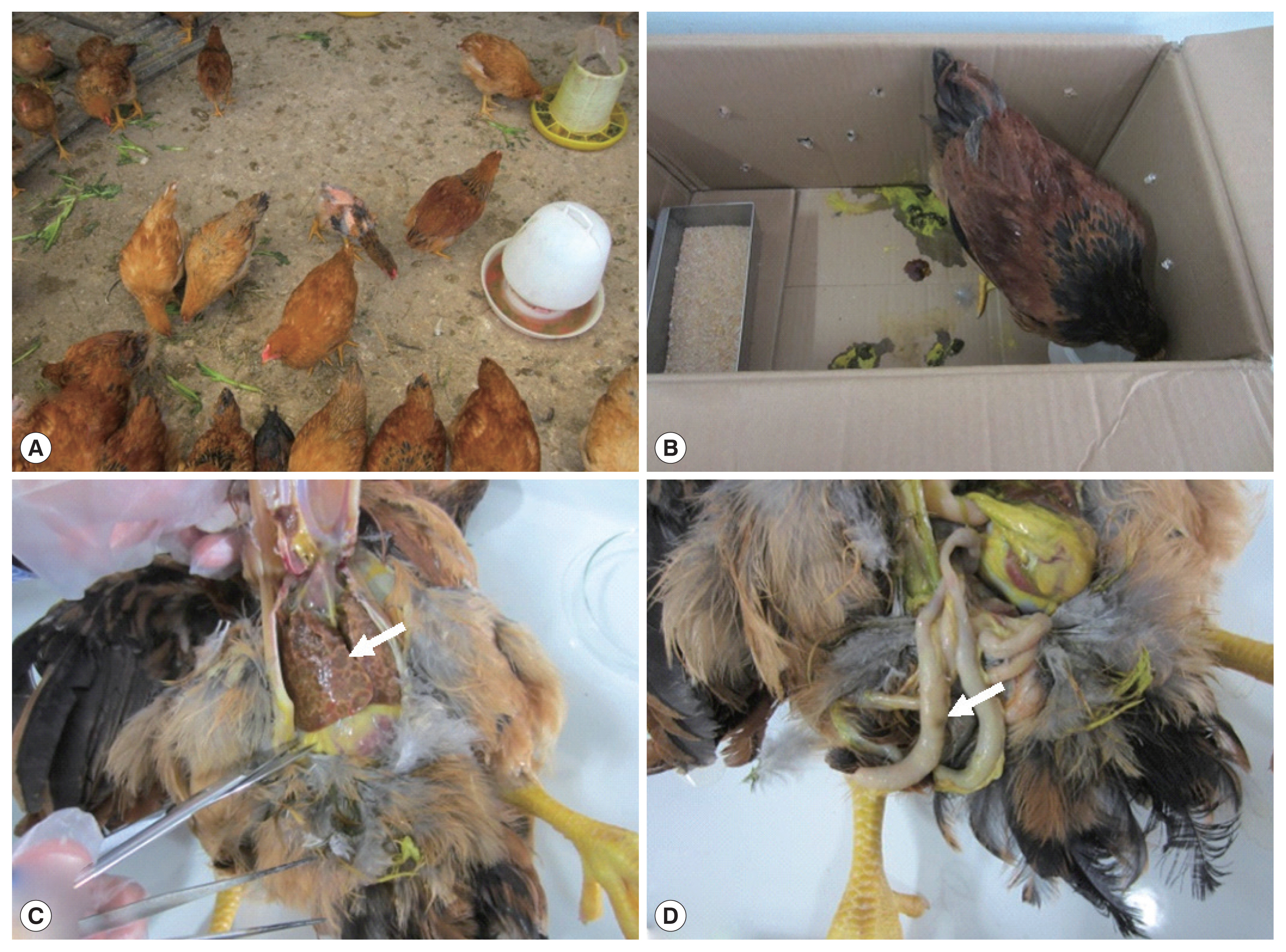 An Outbreak of Histomoniasis in Backyard Sanhuang Chickens